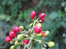 220px-Cissampelos_pareira_fruits.JPG