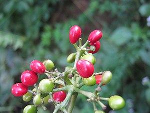 Cissampelos pareira - Fruits of Cissampelos pareira during the month of October