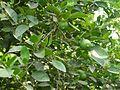 Citrus sp. (4663980420).jpg