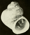 Clappia cahabensis shell.png