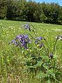 Clematis integrifolia.near ipolydamasd.jpg