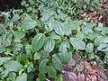 Clidemia hirta-1-braemore-kerala-India.jpg