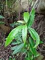 Cluster Fig Leaf - Red River Fig Leaf - Daun Loa (Ficus racemosa).jpg