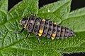 Coccinella septempunctata larva.jpg