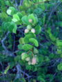 Coco-Plum (2928204552).png