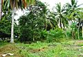 Coconut trees (6).JPG