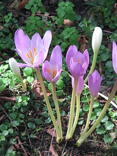 <i>Colchicum</i> Genus of flowering plants in the family Colchicaceae