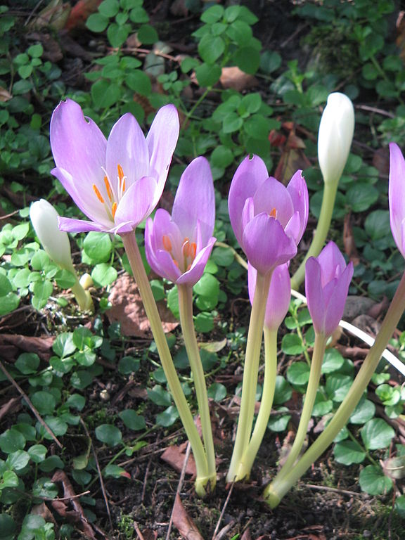An image of the colchicum, often confused with the spring crocus.
