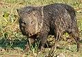 Collared Peccary (Pecari tajacu) male (28482046922).jpg
