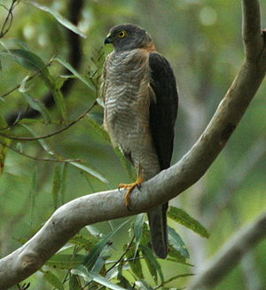 Accipiter - Collared sparrowhawk (A. cirrocephalus), Kobble Creek (Queensland, Australia)