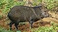 Collared peccary at the Paramaribo Zoo (31296925876).jpg