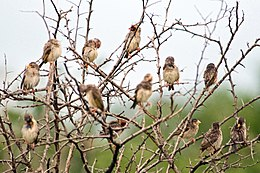 Collection of Red-billed Queleas 2320903083