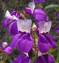 Collinsiaheterophylla.jpg