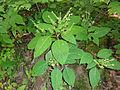 Collinsonia canadensis SCA-04273.jpg