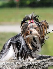 Colorful yorkshire terrier - Tricolor.jpg 23363e6477