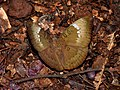 Common Baron Euthalia aconthea female by Dr. Raju Kasambe DSCN8326 (1).jpg
