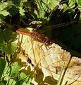 Common Darter. Sympetrum striolatum - Flickr - gailhampshire (3).jpg