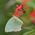 Common Emigrant (Catopsilia pomona) on Jatropha panduraefolia at Kolkata Iws IMG 0229.jpg