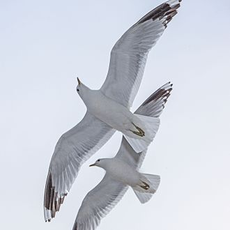 Common gull - Common Gulls, Larus canus, in flight