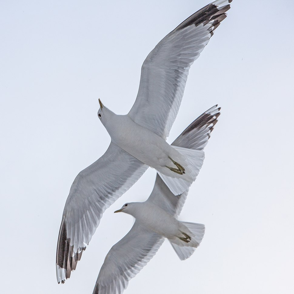 Common Gull Larus canus, Vaxholm Sweden 1