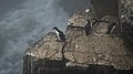 Common Murres (Uria aalge) - Cape St. Mary's Ecological Reserve, Newfoundland 2019-08-10 (04).jpg