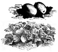 Concombre de Russie Vilmorin-Andrieux 1883.png