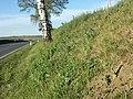 Conringia orientalis sl4.jpg