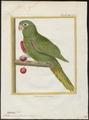 Conurus leucophthalmus - 1700-1880 - Print - Iconographia Zoologica - Special Collections University of Amsterdam - UBA01 IZ18500137.tif