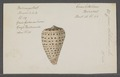 Conus betulinus - - Print - Iconographia Zoologica - Special Collections University of Amsterdam - UBAINV0274 086 03 0007.tif
