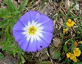 Convolvulus tricolor. CONVOLVULACEAE - Flickr - gailhampshire.jpg
