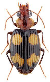 <i>Coptodera</i> Genus of beetles