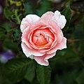 Coral rose at Goodnestone Park Kent England.jpg