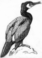 Cormorant (PSF).png
