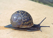 Snail slime - Wikipedia