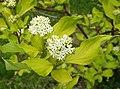 Дерен белый Aurea (Cornus alba).  Для одиночной посадкиДля. живых изгородей.