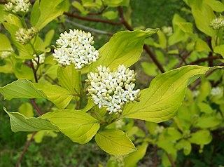 <i>Cornus alba</i> species of plant