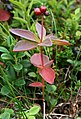 Cornus suecica fruit Utsjoki 2008-08.jpg