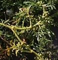Coronopus squamatus inflorescens (26).jpg