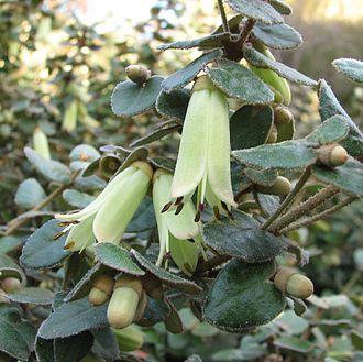 Correa reflexa var. nummulariifolia - Image: Correa reflexa var. nummulariifolia