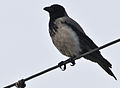 Corvus cornix -Howth, Fingal County, Ireland-6.jpg