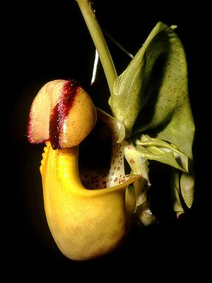Moyobamba - Coryanthes macrantha Moyobamba is famous for its large number of native Orchids