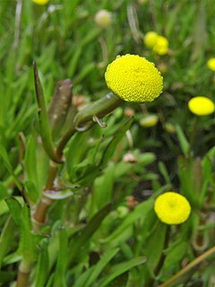240px cotula coronopifolia. c%c3%b3tula (flor)