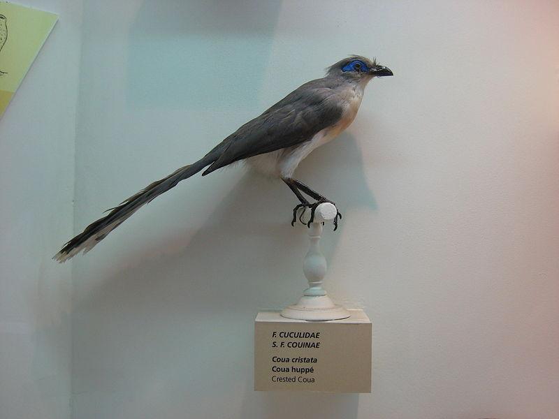Coua cristata naturalisé au Muséum d'histoire naturelle de La Réunion de Saint-Denis