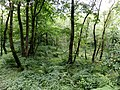 Courtshaw Wood, Castle Semple, Lochwinnoch, Scotland.jpg