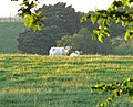 Cows in the evening sunshine - geograph.org.uk - 846461.jpg