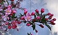 Crab apple branch with flowers and buds.jpg
