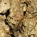 Cranefly - Flickr - treegrow.jpg