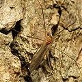 Cranefly - Flickr - treegrow.jpg
