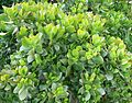 Crassula ovata - Jade Plant - South Africa 7.JPG