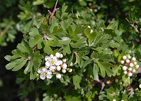 Description de l'image Image:Crataegus_azarolus_Zingaro_084.jpg .